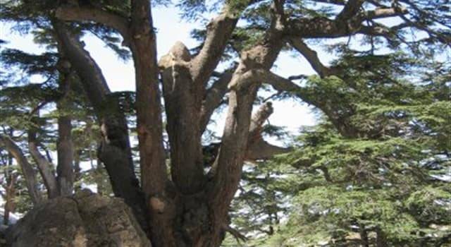 Nature Trivia Question: What's the national tree of Lebanon?