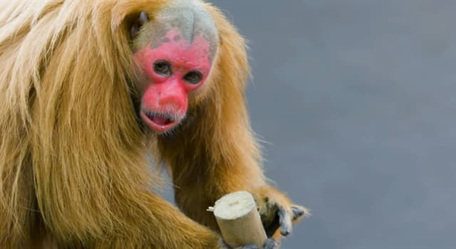 Nature Trivia Question: In which country is a bald uakari found?