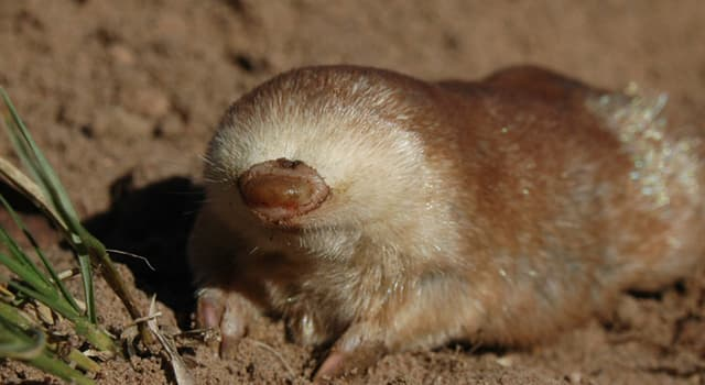 Nature Trivia Question: Which burrowing mammal is in the picture?