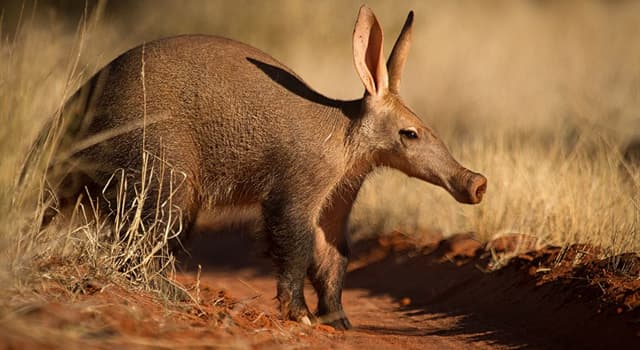 Nature Trivia Question: Which of these is the main diet of Aardvarks?