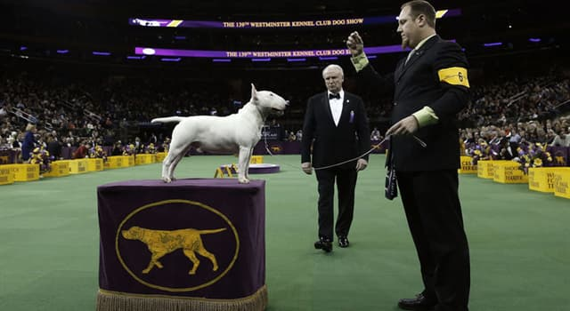 Nature Trivia Question: Which Terrier won 'Best in Show' honors at the 143rd Westminster Kennel Club Dog Show in 2019?