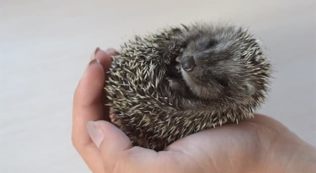 Nature Trivia Question: Why does a hedgehog roll into a tight ball?