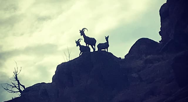 History Trivia Question: In the U.S., which organization mounted a statewide campaign in 1936, to save the bighorn sheep?