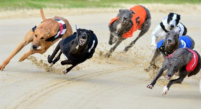 Sport Trivia Question: In which country was the first professional greyhound racing track?