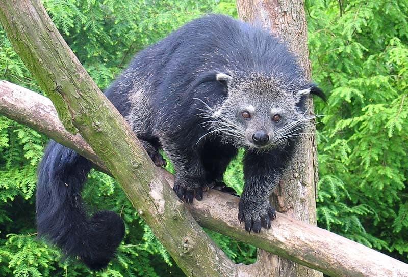 Наука Вопрос: На фотографии изображен битуронг, распространенный в Юго-Восточной Азии. Туристы зачастую называют этих зверей «кошачьими медведями». А к какому семейству отряда хищных млекопитающих на самом деле принадлежит это милое животное?