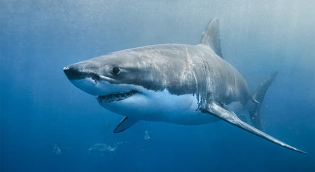 Nature Trivia Question: The Great White and what other shark are warm-blooded?