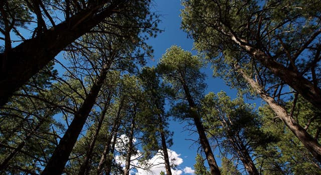 Geography Trivia Question: The ponderosa pine is the state tree of which U.S. state?