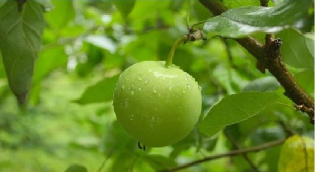 Nature Trivia Question: The manchineel tree is native to which region of the world?