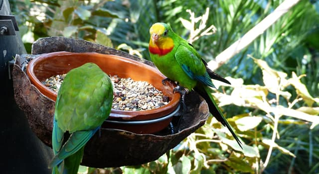 Nature Trivia Question: Which is the smallest Australian parrot?