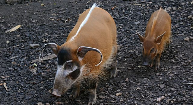 Nature Trivia Question: Which of these is a wild member of the pig family living in Africa?