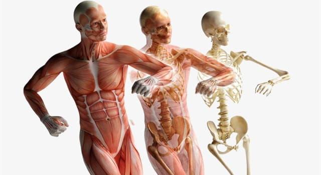 Wissenschaft Wissensfrage: In welcher Körperhöhle sind Herz und Lungen untergebracht?