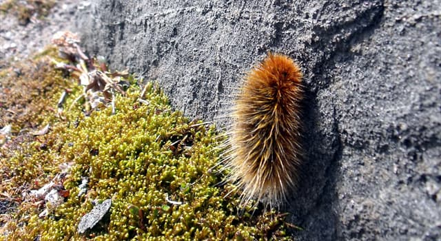 Nature Trivia Question: The arctic woolly bear moth's caterpillar life cycle may extend up to how many years?
