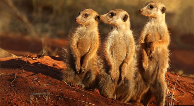 Nature Trivia Question: The Meerkat is native to which continent?