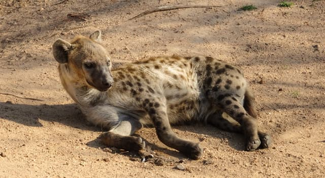 Nature Trivia Question: To which order of animals do hyenas belong?