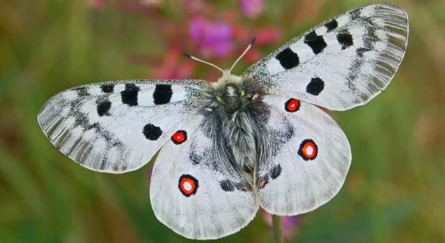 Natur Wissensfrage: Unter welchem anderen Namen ist der Parnassius-Schmetterling bekannt?