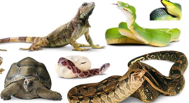 Natur Wissensfrage: Welches ist das größte lebende Reptil der Welt?