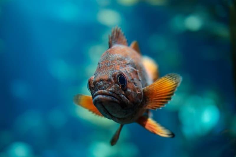 Naturaleza Pregunta Trivia: ¿Cuál es el pez más pequeño del mundo?
