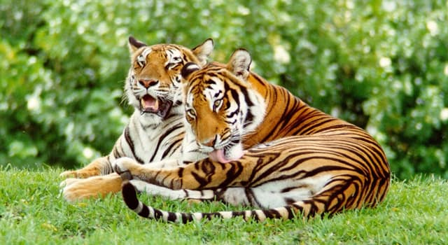 Society Trivia Question: In which country did 'Operation Tiger' begin with the object of creating nature reserves for tigers?