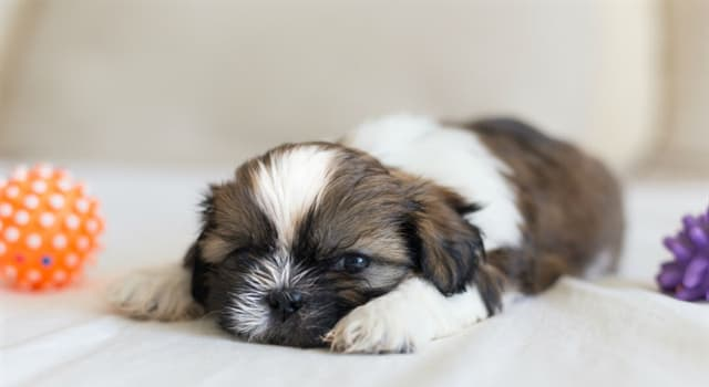 Nature Trivia Question: Which country does the Shih Tzu dog come from?