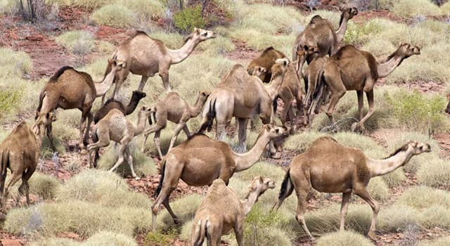 Nature Trivia Question: Which country has the highest amount of feral (wild animal descended from domesticated) camels?