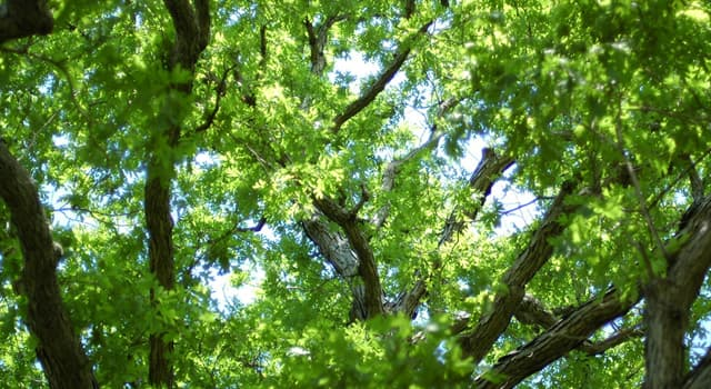Nature Trivia Question: Which continent is the white oak native to?