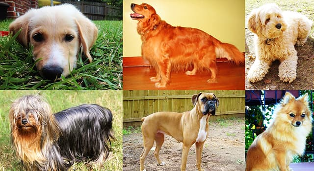 Society Trivia Question: Which dog breed has attacked the most humans in America between 2005 - 2017?