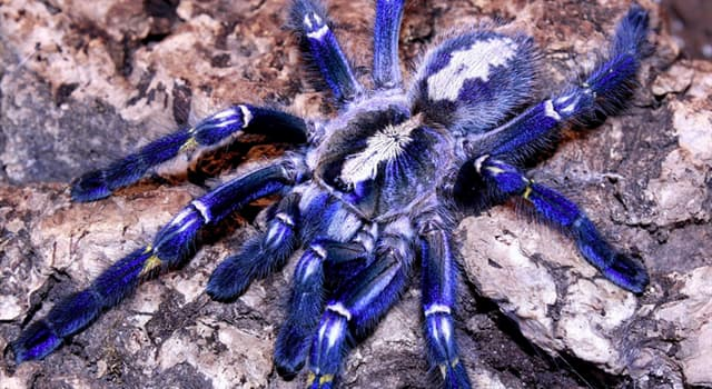 Nature Trivia Question: Which species of tarantula is in the picture?