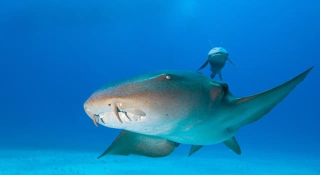 Nature Trivia Question: Which of these is a type of shark?