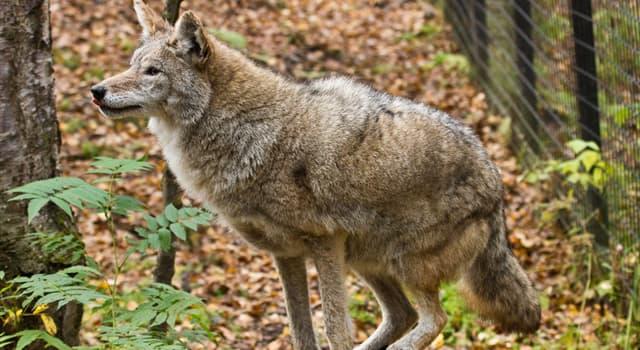 Natur Wissensfrage: Wie viele Arten von Wölfen sind heute bekannt?