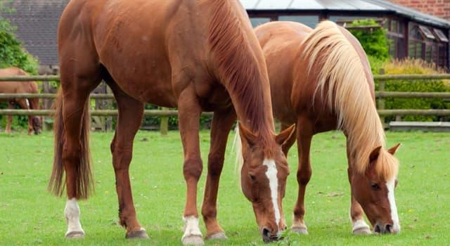 Wissenschaft Wissensfrage: Wie wird die Größe eines Pferdes traditionell gemessen?