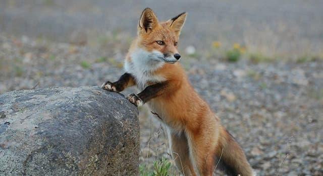 Kultur Wissensfrage: Aus welchem Land stammt die Fuchsjagd?