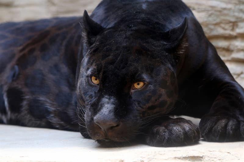 Natur Wissensfrage: Gibt es wirklich schwarze Panther?