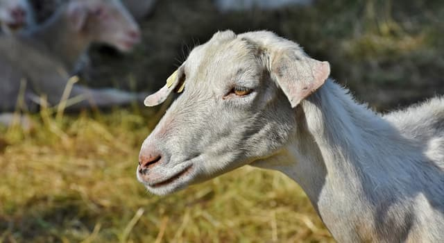 Kultur Wissensfrage: Welches Fabelwesen ist dadurch bekannt, dass es Ziegen tötet und ihr Blut aussaugt?
