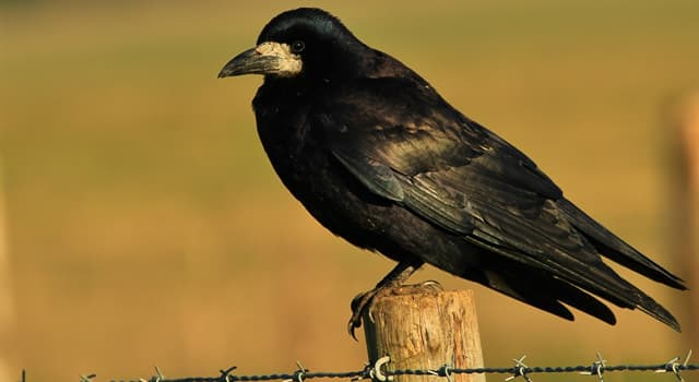Nature Trivia Question: What do birds of 'Corvidae' family feed on?