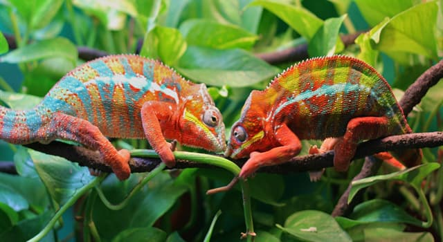 Nature Trivia Question: What do chameleons primarily feed on?