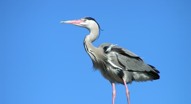 Nature Trivia Question: What do herons mostly feed on?