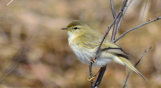 Nature Trivia Question: What do leaf warblers eat?