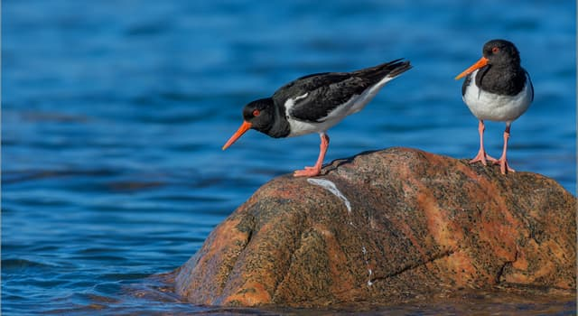 Nature Trivia Question: What does the Eurasian oystercatcher feed on?