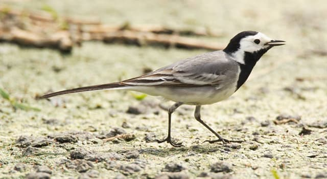 Nature Trivia Question: What do wagtails feed on?
