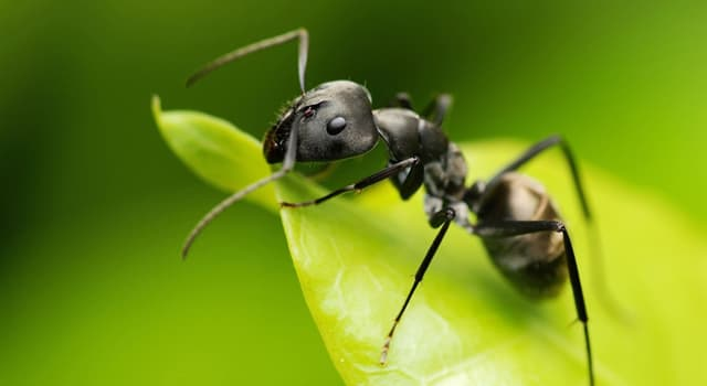 Nature Trivia Question: What is the name of an adult, reproducing ant in an ant colony?