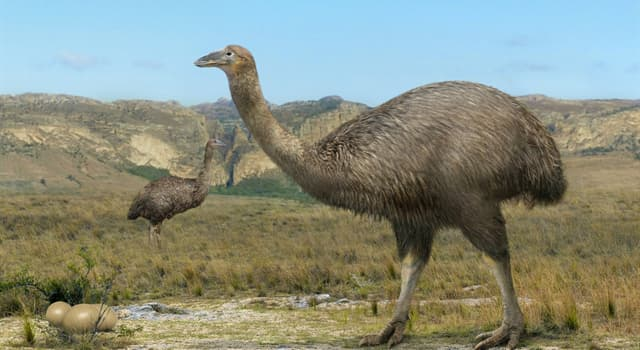 Nature Trivia Question: What is the name of an enormous flightless bird that once lived on the island of Madagascar?