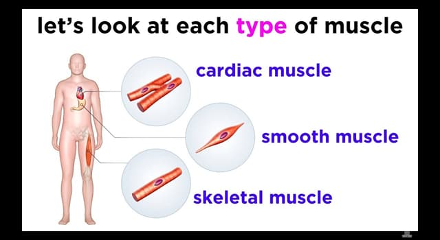 Science Trivia Question: Where in the human body will you find your corrugator supercilii muscle?