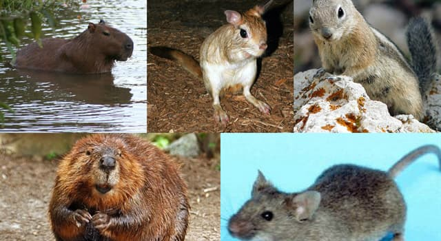 Nature Trivia Question: Which of these animals is not a rodent?