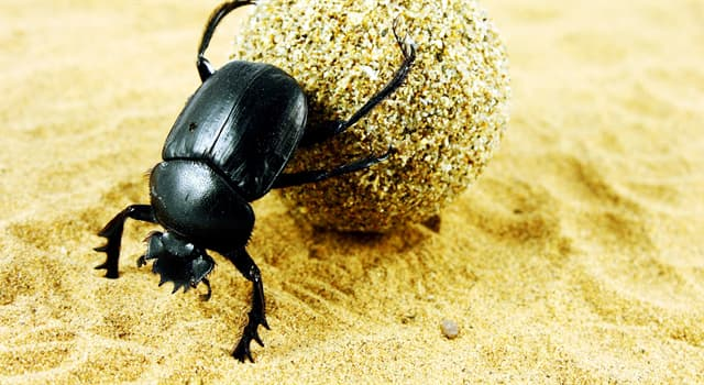 Nature Trivia Question: Which of these beetles is a sacred scarab?