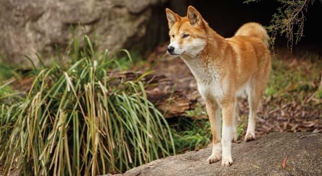 Natur Wissensfrage: Wie heißen die wilden Hunde Australiens?