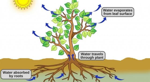 Natur Wissensfrage: Wie nennt man die Flüssigkeitsaufnahme von Pflanzen durch Wurzeln?