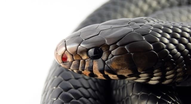 Nature Trivia Question: Which part of their body do snakes use to inject venom?