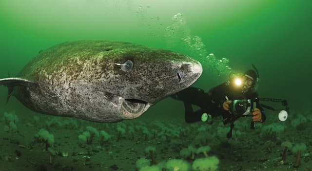 Nature Trivia Question: How long can a Greenland shark live?
