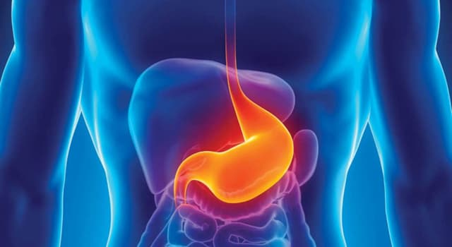 Science Trivia Question: In adults, how long is the esophagus?