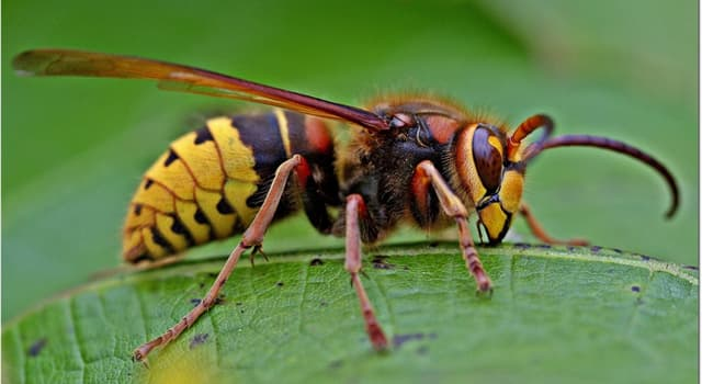 Nature Trivia Question: What do hornets feed on?